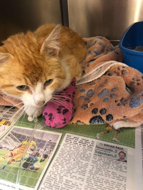 Cat loses life after legs left shattered by in shotgun incident, say RSPCA