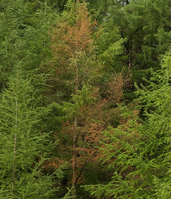 Diseased larch trees to be felled in Lampeter forest
