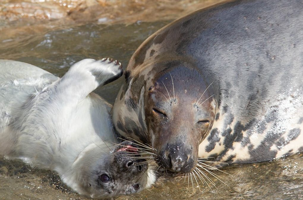 The Saddening result of seal and seal pup disturbance on the Welsh coast